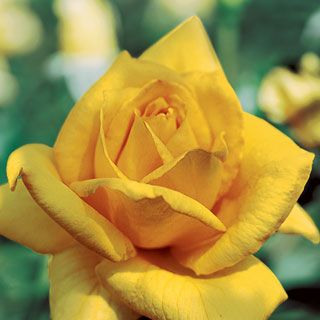 Oregold Hybrid Tea Rose