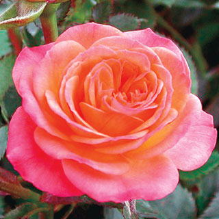 Busy Bee™ Miniature Rose