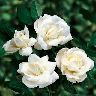 White Dawn Rose