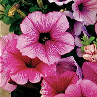 Celebrity Summer Ice Petunia Flower Seeds