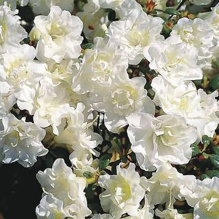 Rhododendron Snow Pearl