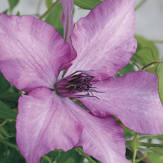 Giselle™ Clematis