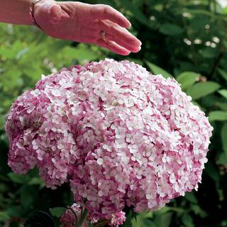 Hydrangea Incrediball® Blush