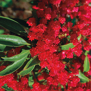 Forever Red Mountain Laurel