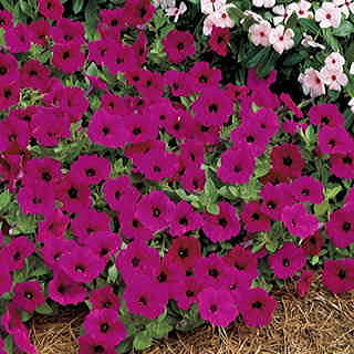 Tidal Wave™ Purple Hybrid Petunia Seeds