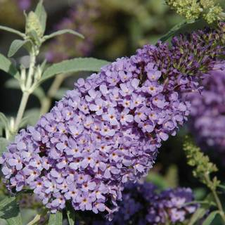 Buzz™ Sky Blue Butterfly Bush
