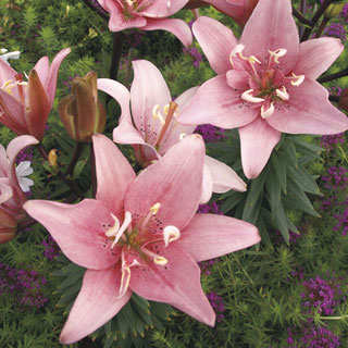 Lilium Double Asiatic Elodie