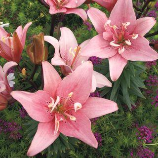 Lilium Double Asiatic Elodie