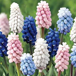 Muscari Color Festival Mix