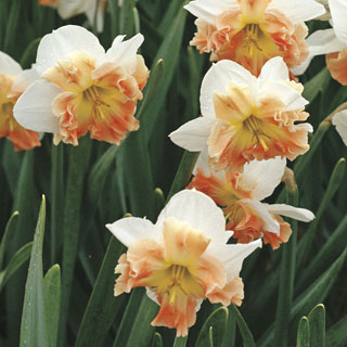 Narcissus Mallee