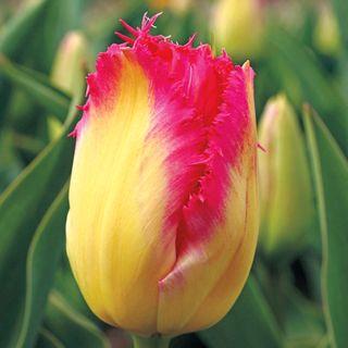 Tulip Crispa Auxerre - Pack of 10