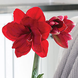 Amaranthe Amaryllis Bulbs, Set of Three
