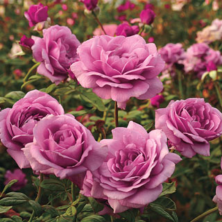 Sugar Plum™ Hybrid Tea Rose