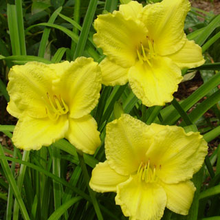 Big Time Happy Daylily