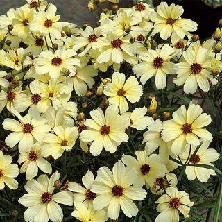 Buttermilk Coreopsis
