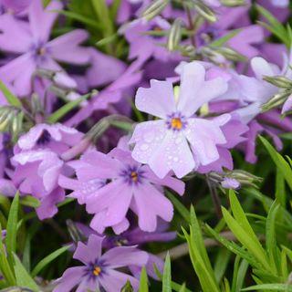 Purple Beauty Phlox
