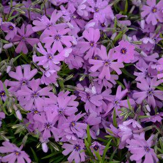 Purple Beauty Phlox Image