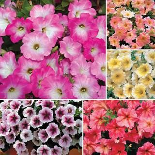 Pastel Petunia Seed Collection