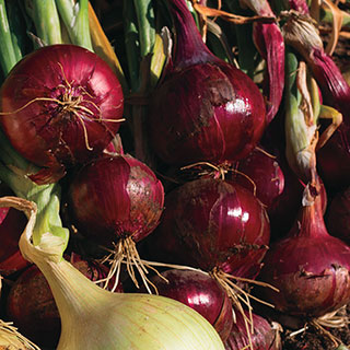 Red Wing Hybrid Onion Plants