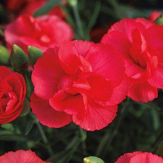 Rosebud Dianthus