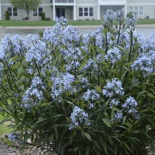 Storm Cloud Amsonia
