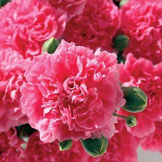Dianthus Pink Fizz