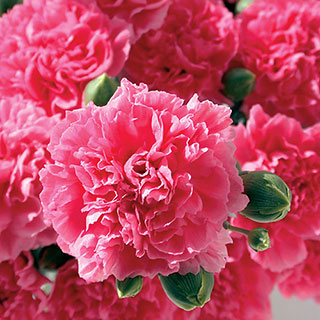 Scent First® Pink Fizz Dianthus