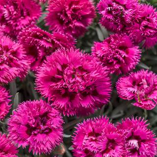 Dianthus Fruit Punch® Spiked Punch