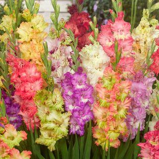 Parrot Mix Gladiolus