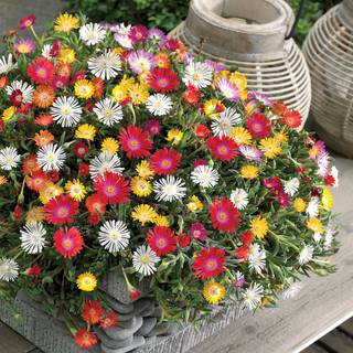 Delosperma Jewel of Desert Hardy Collection (pack of 6)