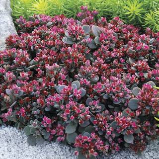 Sunsparkler® Blue Elf Sedum
