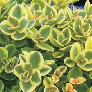 Sunsparkler® Lime Twister Sedum