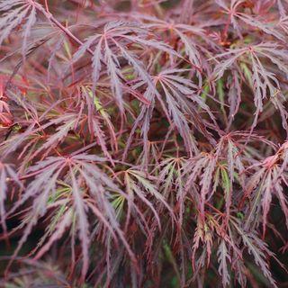 Acer palmatum Scarlet Princess