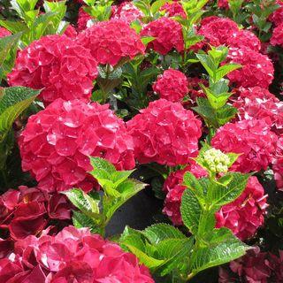 Magical Ruby Red Hydrangea