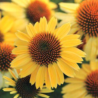 Echinacea Sombrero® Sandy Yellow