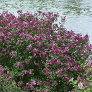 Bloomerang® Dark Purple Syringa Image