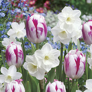 Tulip Daffodil Butterfly Kisses Blend