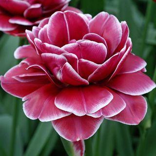 Tulip Double Dreamtouch