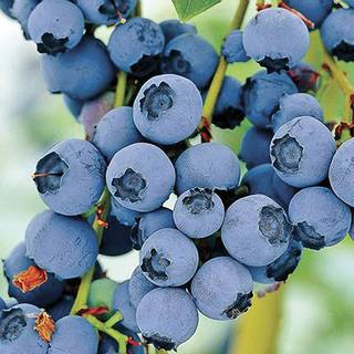 Know Before You Grow: Blueberries