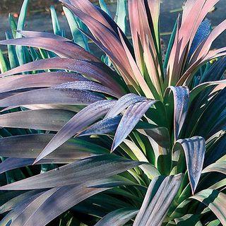 Yucca Blue Boy