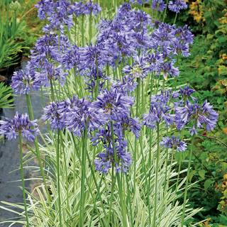 Silver Moon Agapanthus