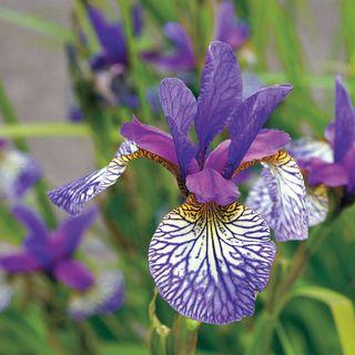 Siberian Iris Shakers Prayer
