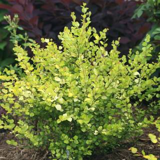 Betula Cesky Gold At Park Seed