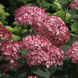 Hydrangea Invincibelle® Ruby