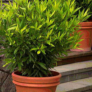 Laurus nobilis Emerald Wave®