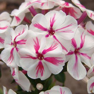 Phlox Paniculata Twister
