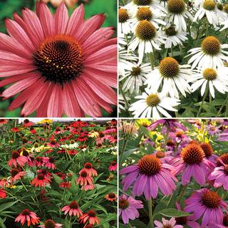 Parks Coneflower Seeds Collection