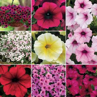 Petunia Wave Collection