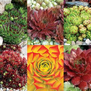 Chick Charms 174 Succulent Mix At Park Seed