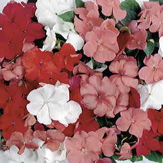 Sunny Lady Tropical Fruit Mix Hybrid Impatiens Seeds